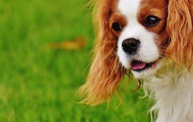 5 טיפים לאילוף כלבי קינג צארלס